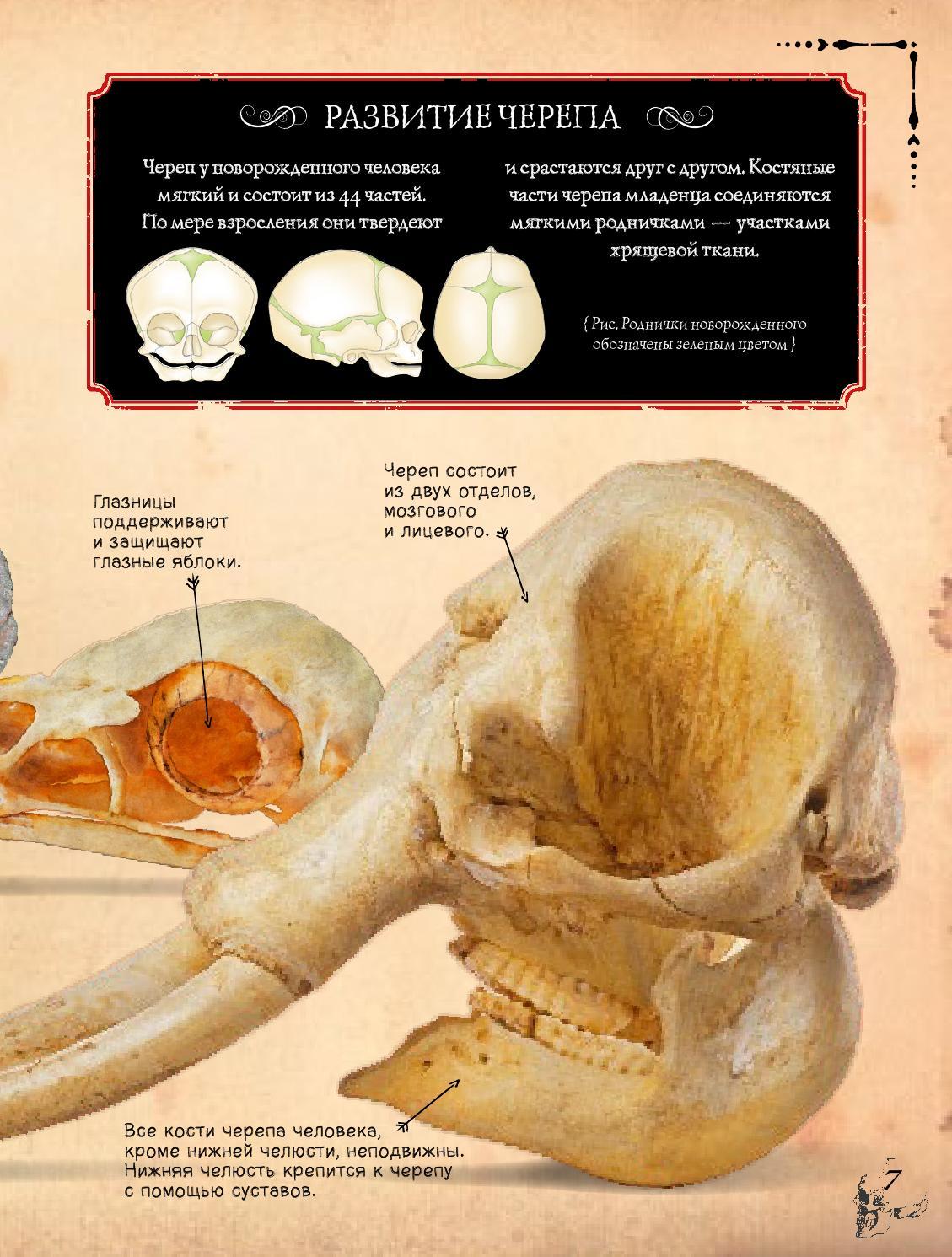 Строение черепа у детей фото