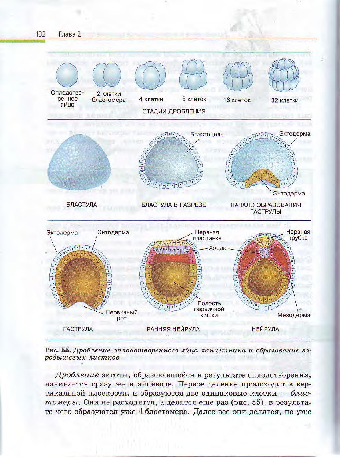 Схема внутриутробного развития
