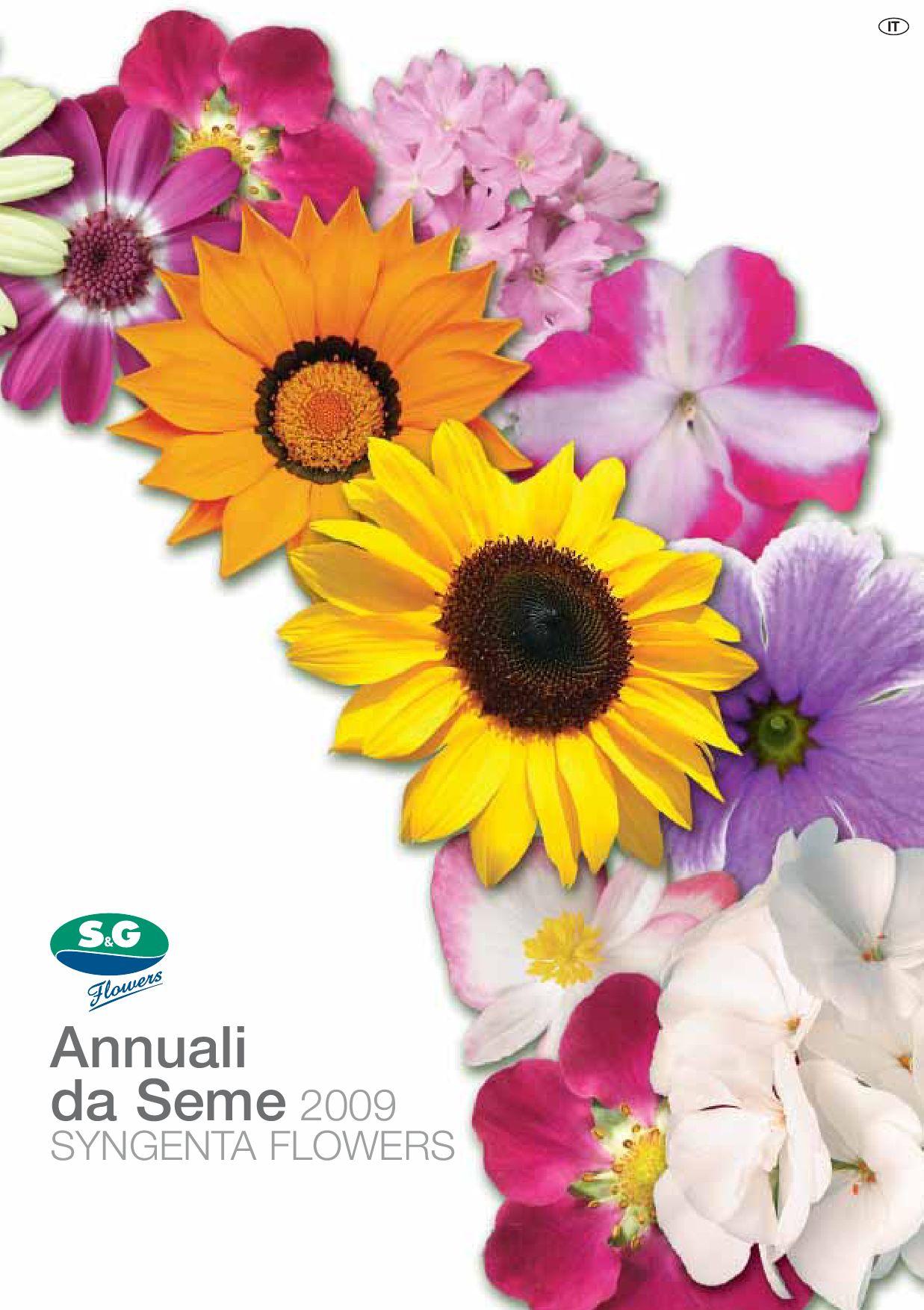 20 semi Fiore-asarina procumbens