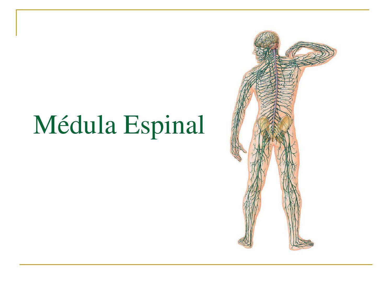Medula Espinal by Jose Luis Henriquez - issuu