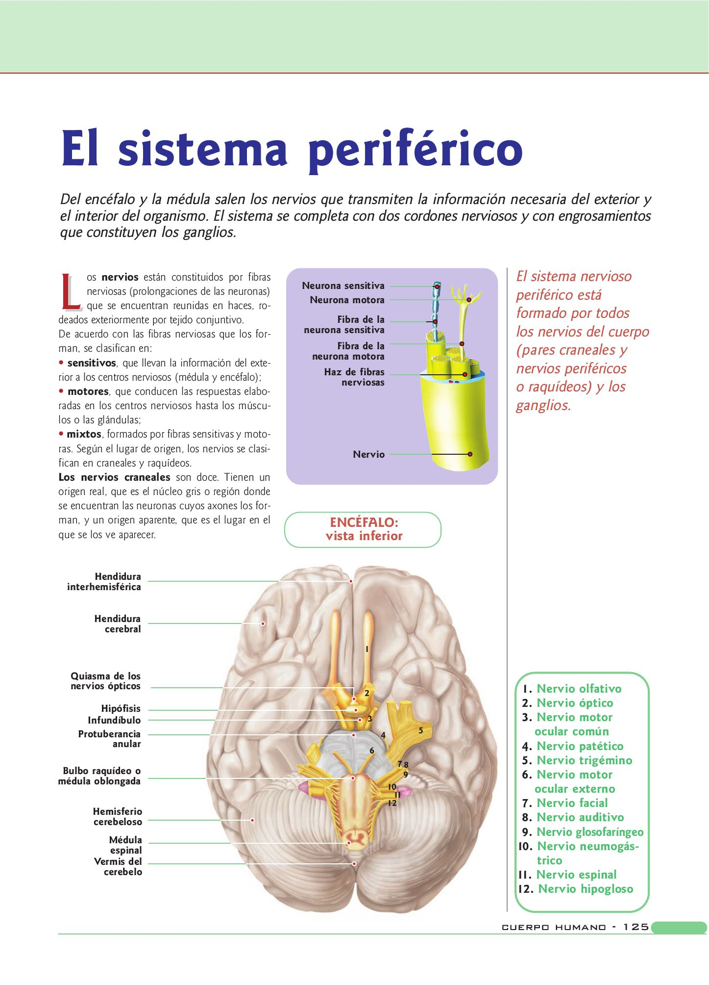 Fantástico Inferior Neurona Anatomía Motor Galería - Imágenes de ...