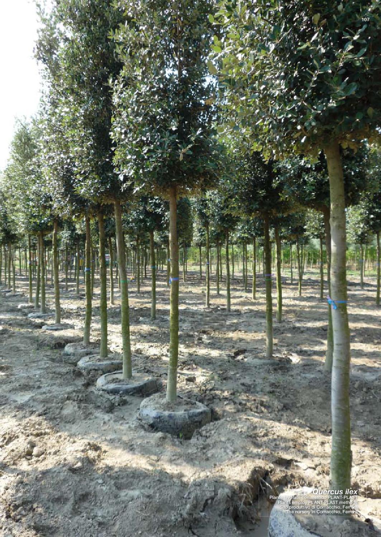 Buxus Sempervirens Arbusto sempreverde Altezza 55-60 cm Bosso piramidale Vaso /Ø 21 cm