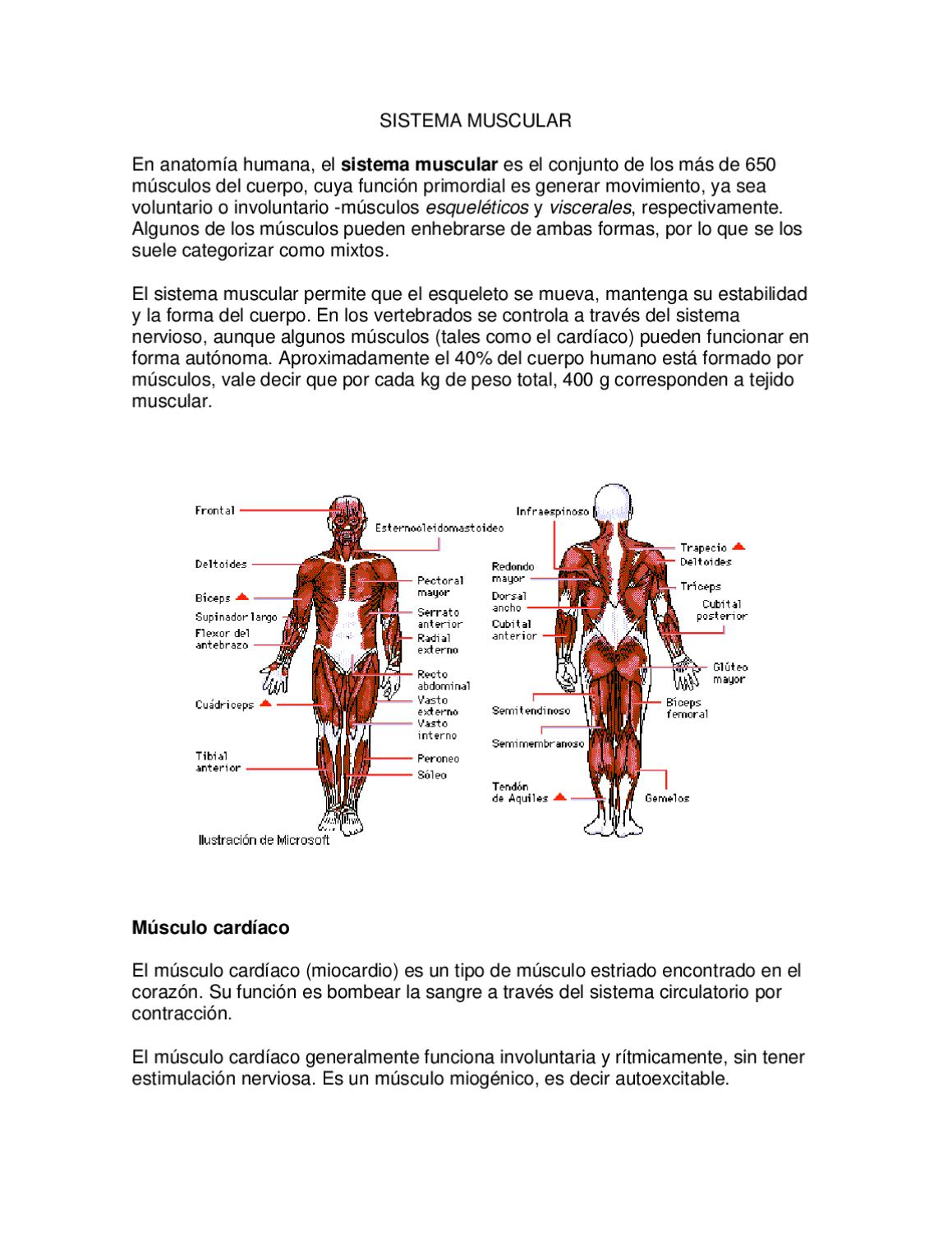SISTEMA MUSCULAR by andrea campaña - issuu