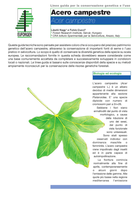 Acero Radici Invasive acer campestre by federico vessella - issuu