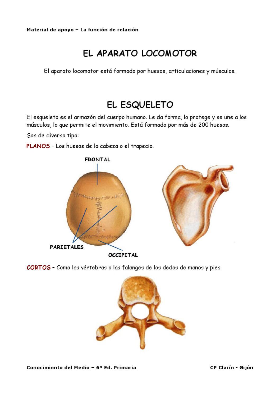 Material de apoyo - El esqueleto by CP Clarin - issuu
