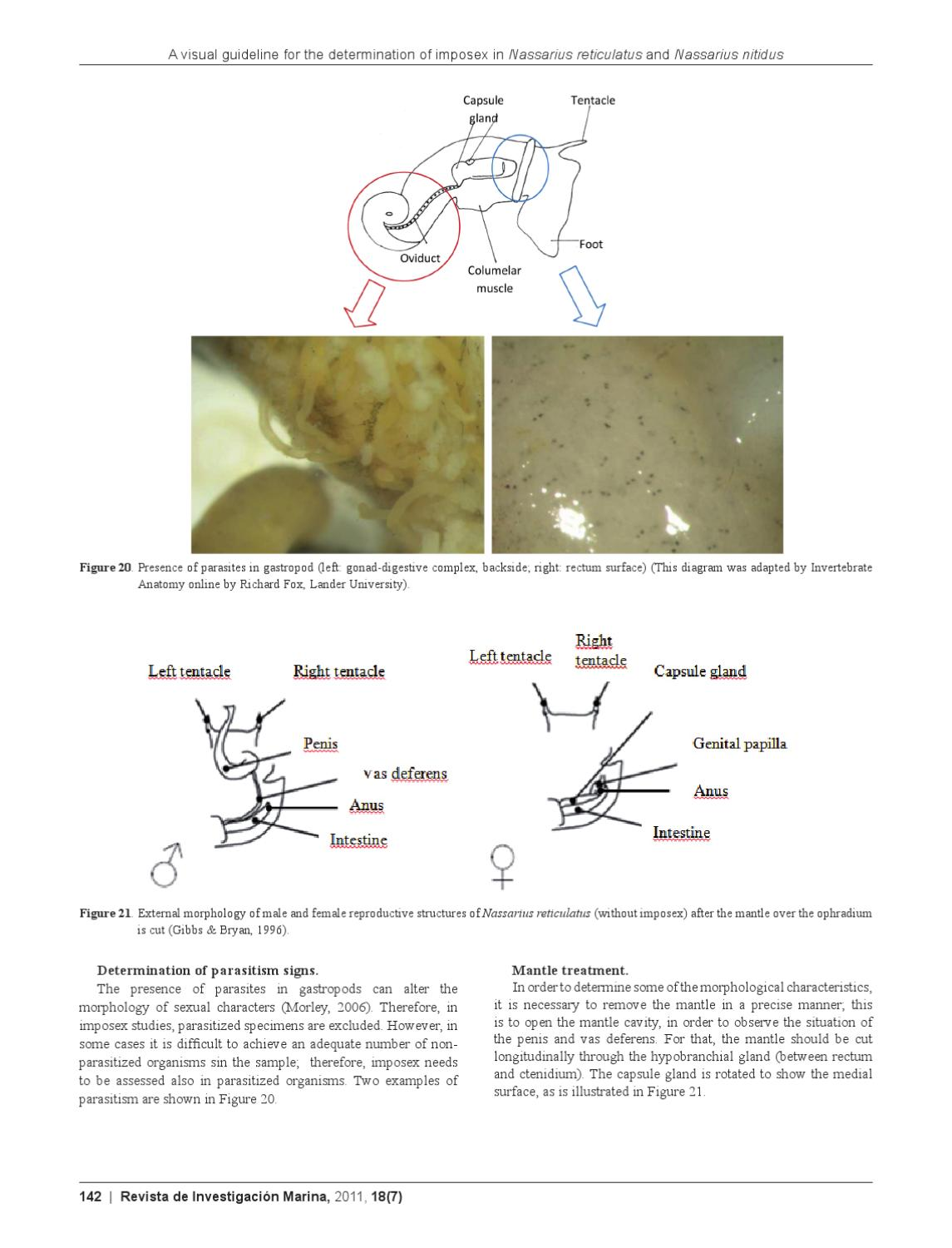Rim 187 A Visual Guideline For The Determination Of Imposex In