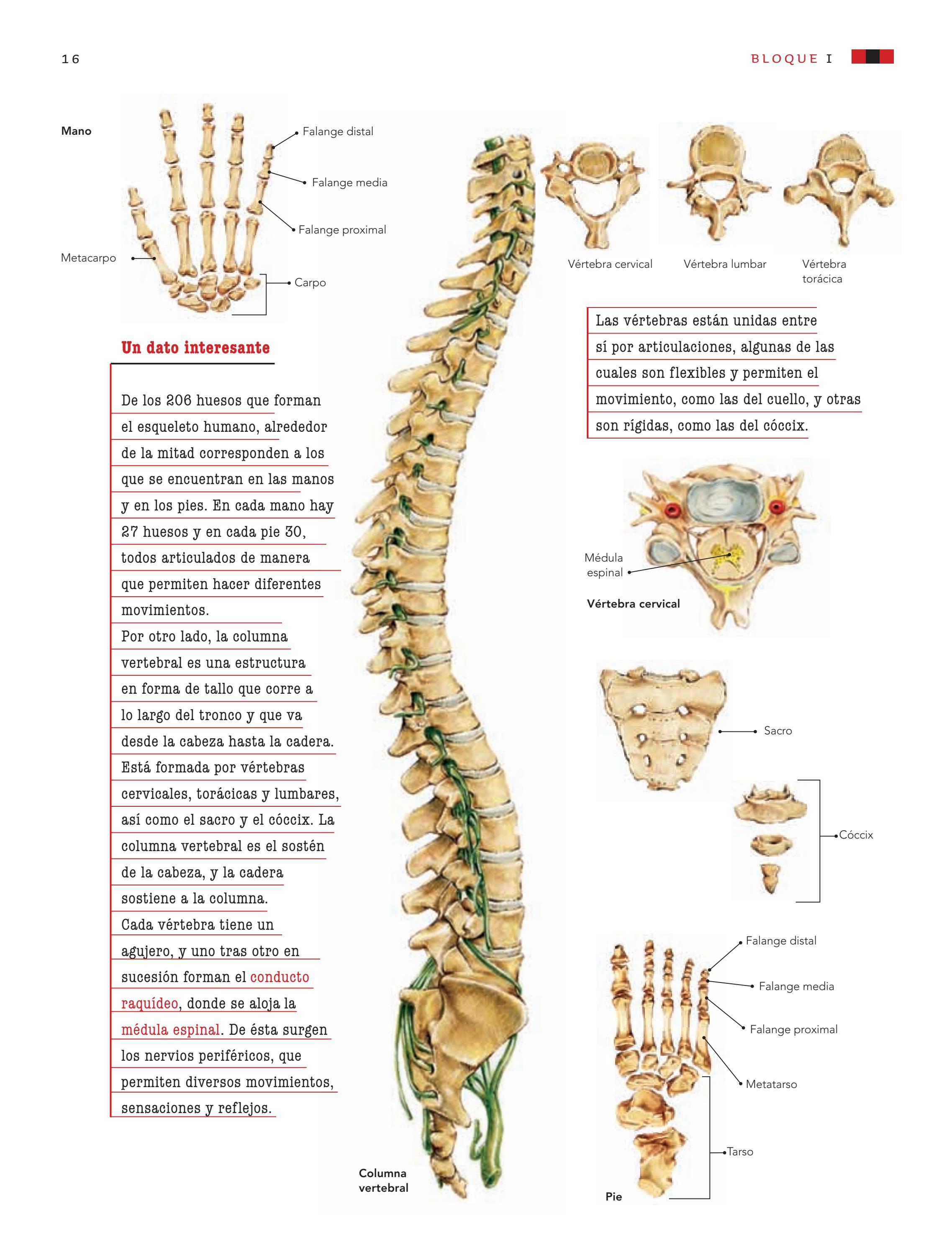 Moderno Nombrar A Los 206 Huesos En El Cuerpo Humano Bosquejo ...