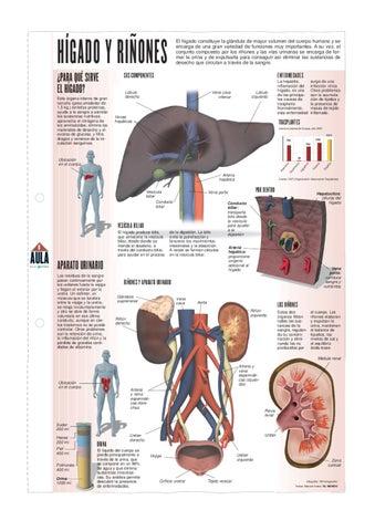 Movimiento del hígado de la vena porta