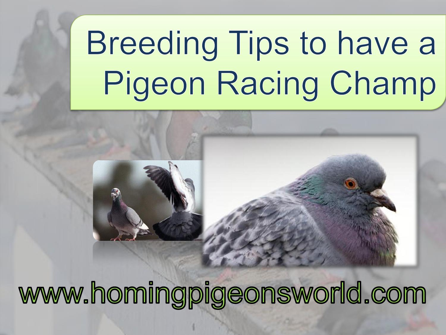 Breeding Tips to have a Racing Pigeon Champ by julian