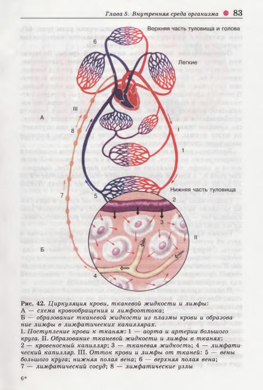 Картинка циркуляция крови тканевой жидкости и лимфы