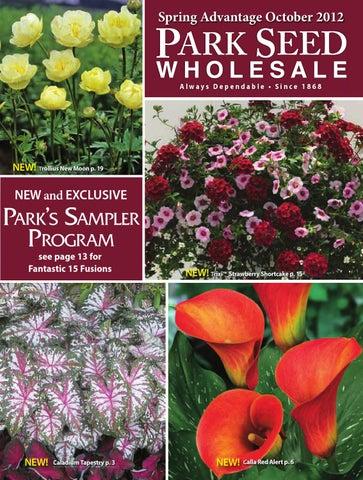 Ajuga reptans /'Atropurpurea/' Evergreen Groundcover PLUG plantes Pack x6