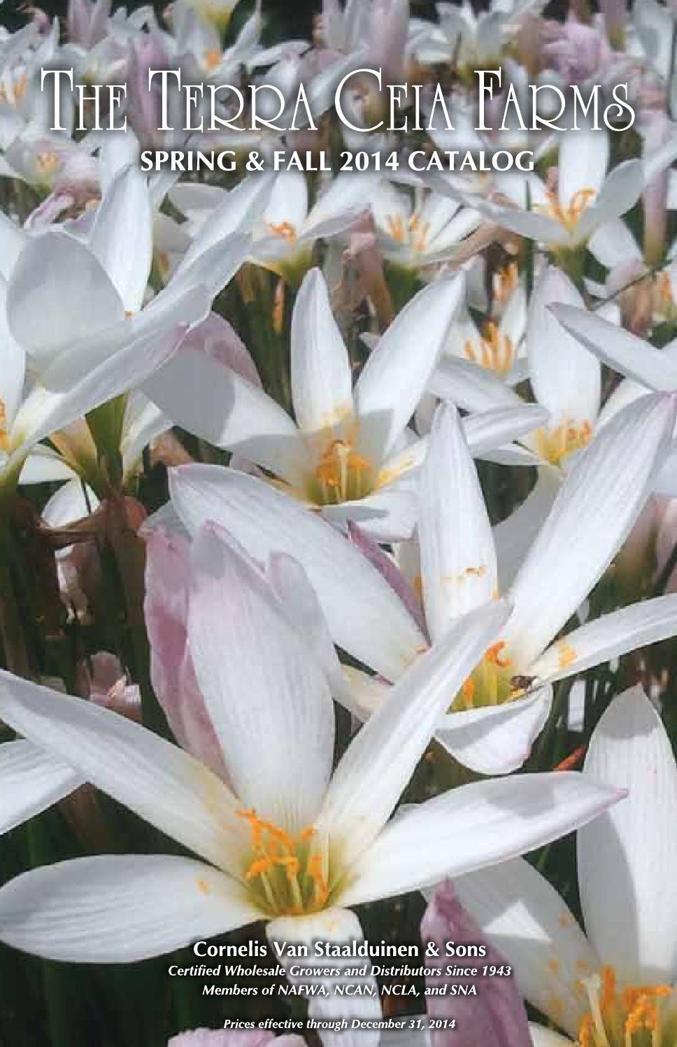 Colocasia esculenta x1 x3 or x5 Flowering  size rhizome