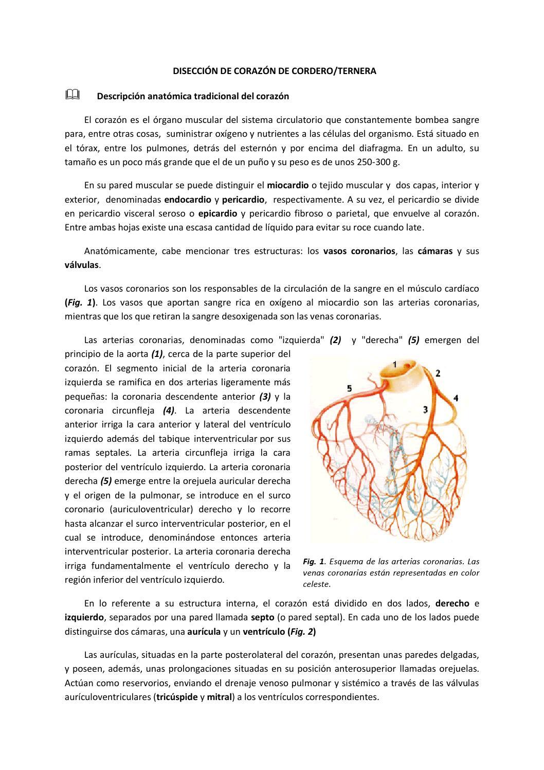 Disección de corazón de cordero ternera by BioGeo L\'Eliana - issuu