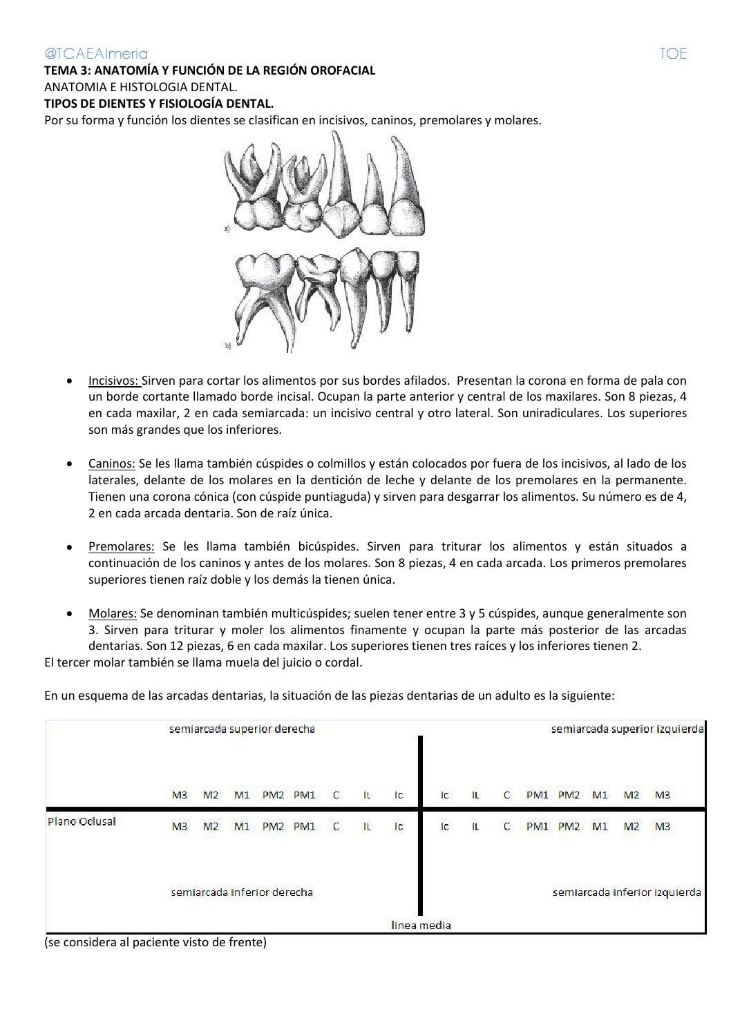 Tema 3 Anatomía y función de la región orofacial by Tcae Almeria - issuu