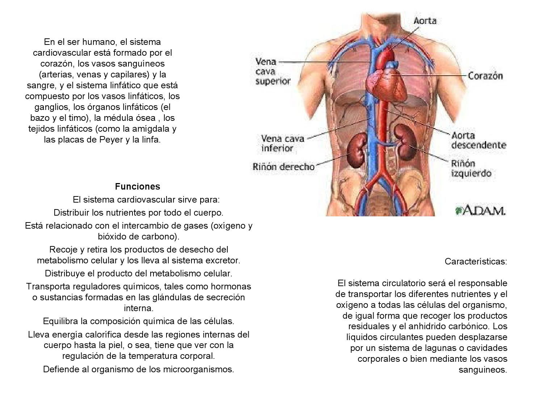 Aparatos circulatorio y respiratorio by Mónica Paredes - issuu