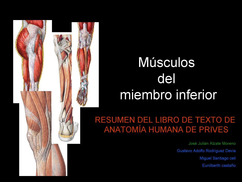 Musculos del miembro inferior by jose julian alzate moreno - issuu