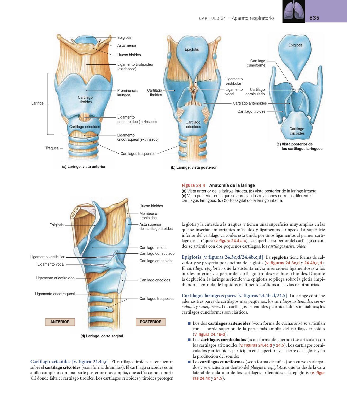 Resultado de imagen para cartílagos de la laringe