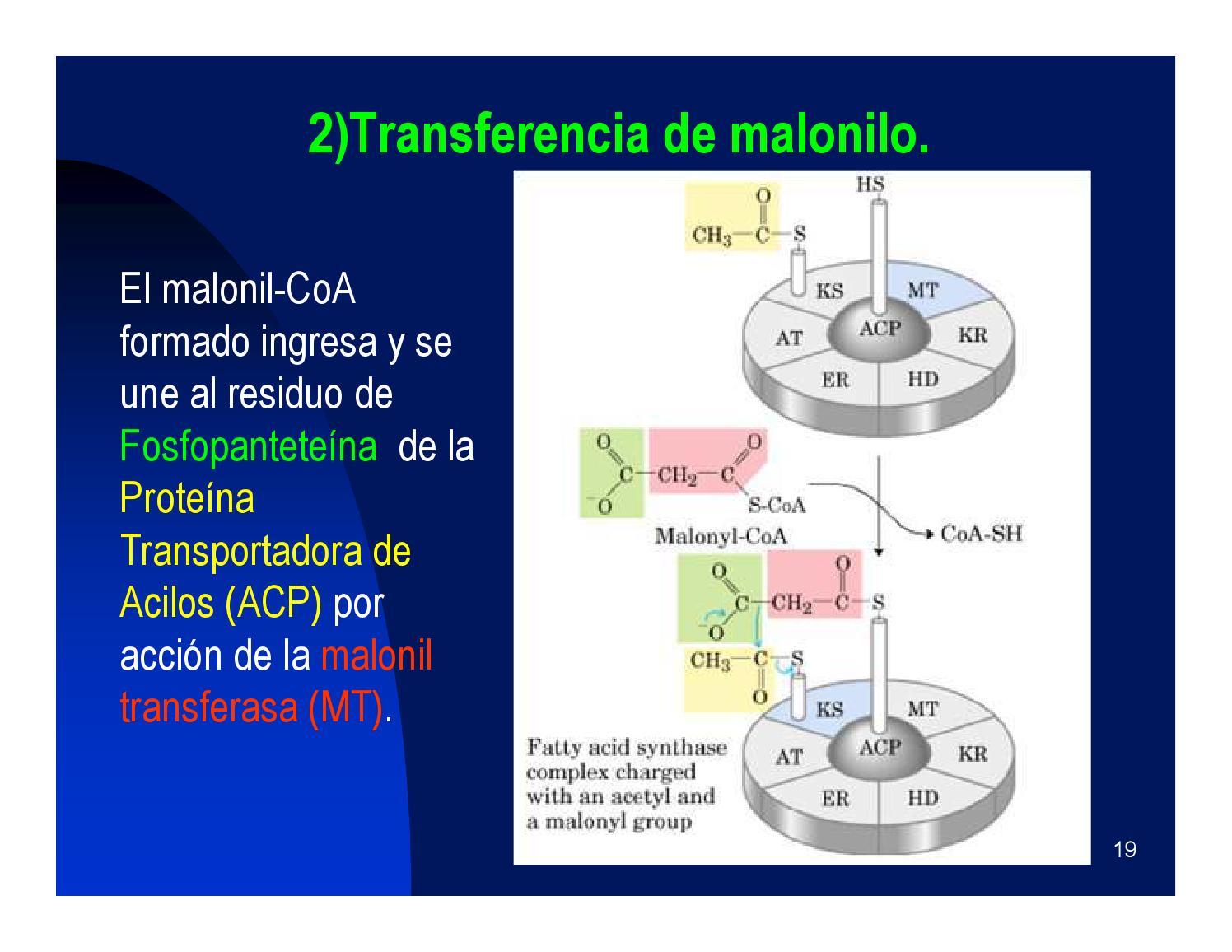 Metabolismo de los lípidos by ClasesParticulares en..
