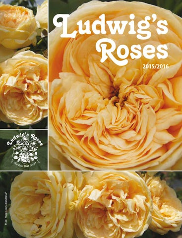 Ludwig s Roses 2015 16 Catalogue by Anja Taschner - issuu ab3ac41564b60