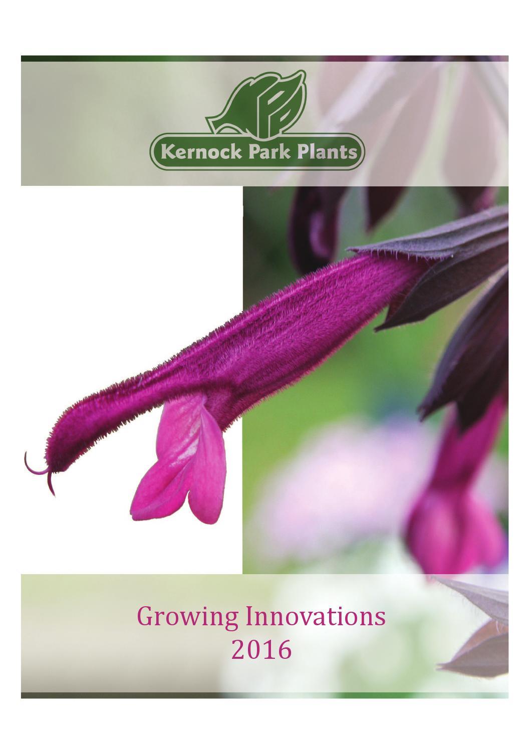 3 X Scutellaria /'Texas Rose/' Plug plants Rockery Perennerial Alpine