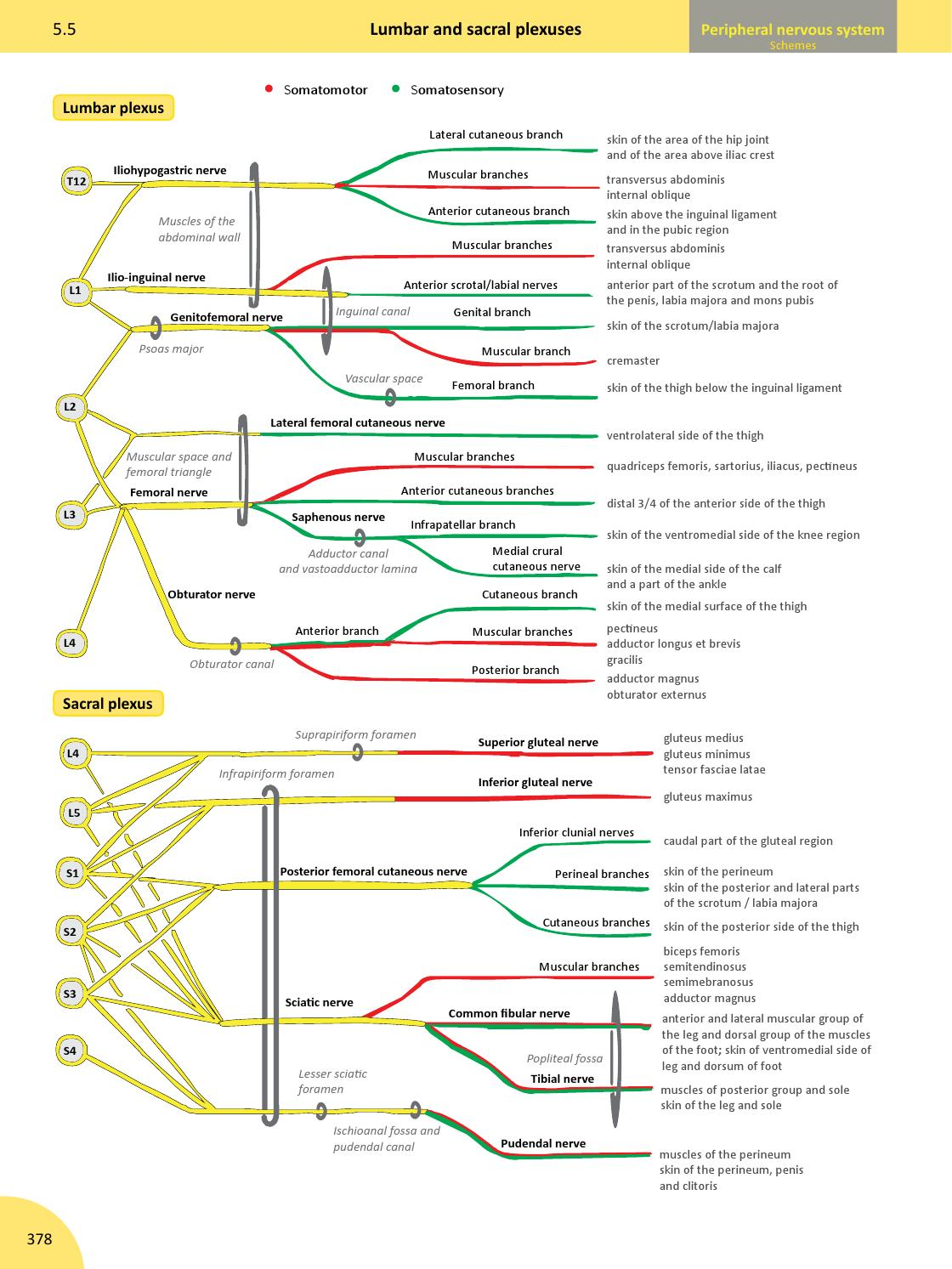 Memorix Anatomy - sample (134 pages) by Radovan Hudak - issuu
