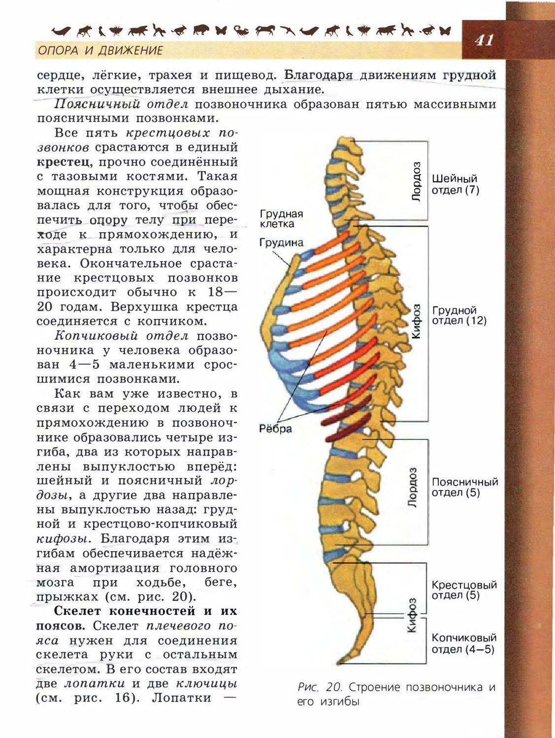 Позвонки грудного отдела позвоночника соединены подвижно