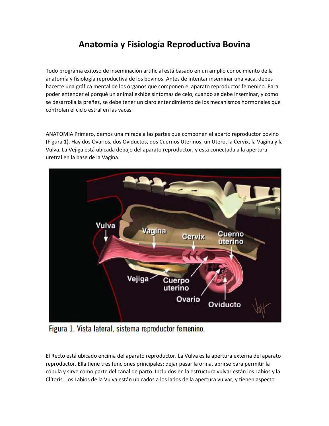 Anatomía y fisiología reproductiva bovina by Andres Mejia - issuu