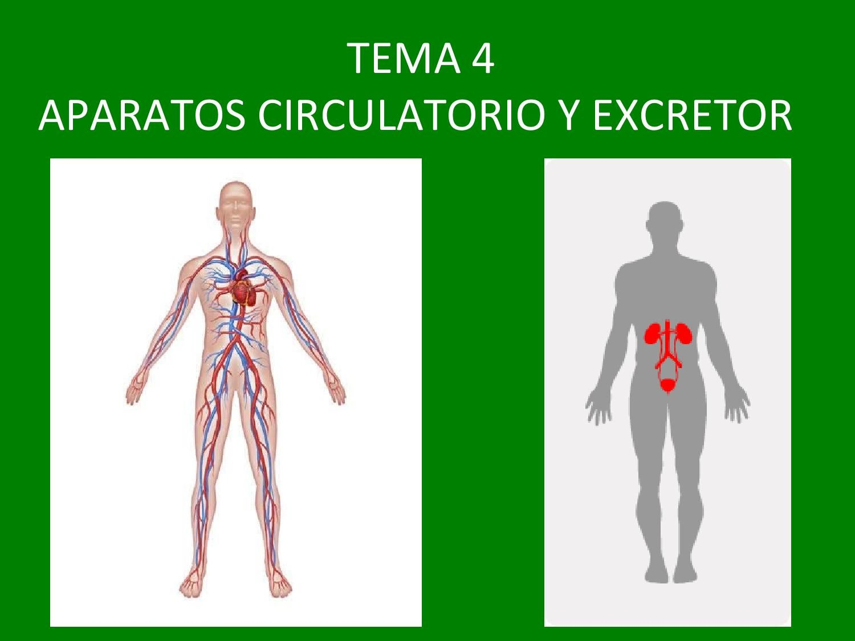APARATOS CIRCULATORIO Y EXCRETOR by Susana Bronchalo - issuu