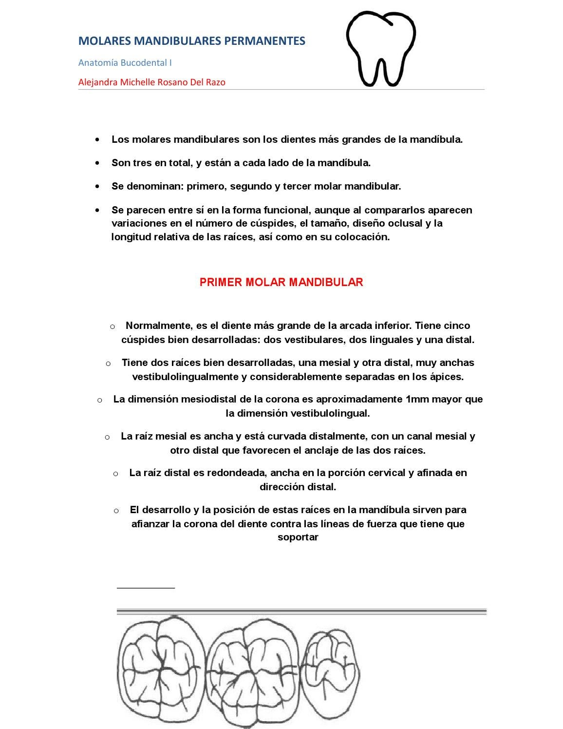 Resumen primer molar mandibular by Alejandra Michelle Del Razo - issuu