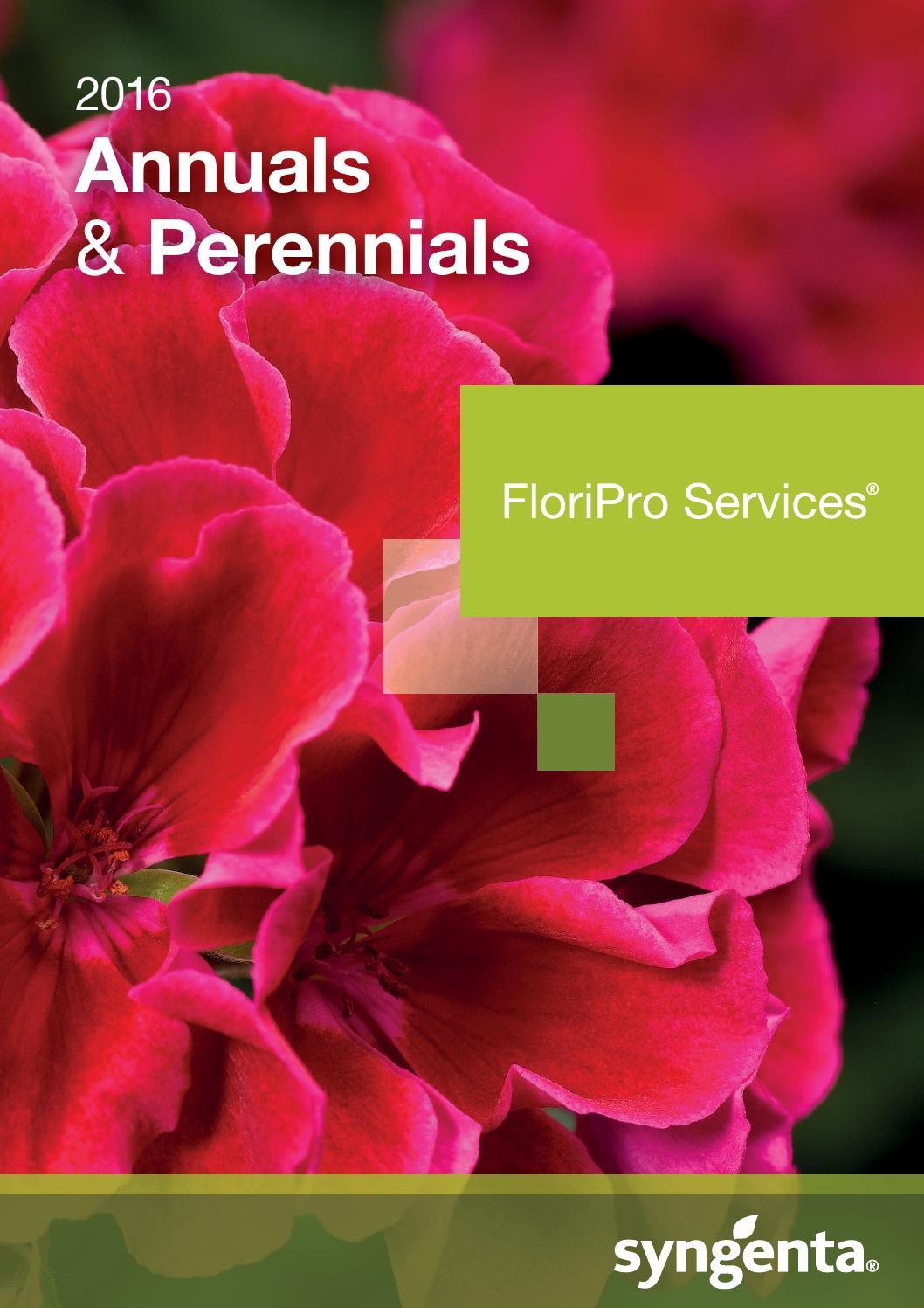 Perennial,compact habit long flowering season Brachyscome White 50 Seeds