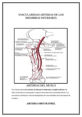 Arterias de los miembros inferiores by Evelin Moina - issuu