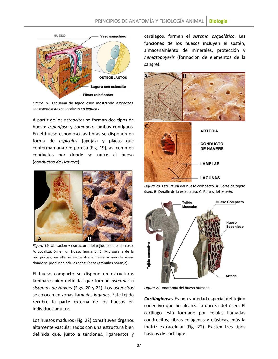 Condrocitos funcion y ubicacion
