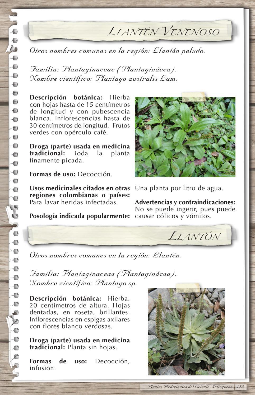 llanten planta medicinal nombre cientifico
