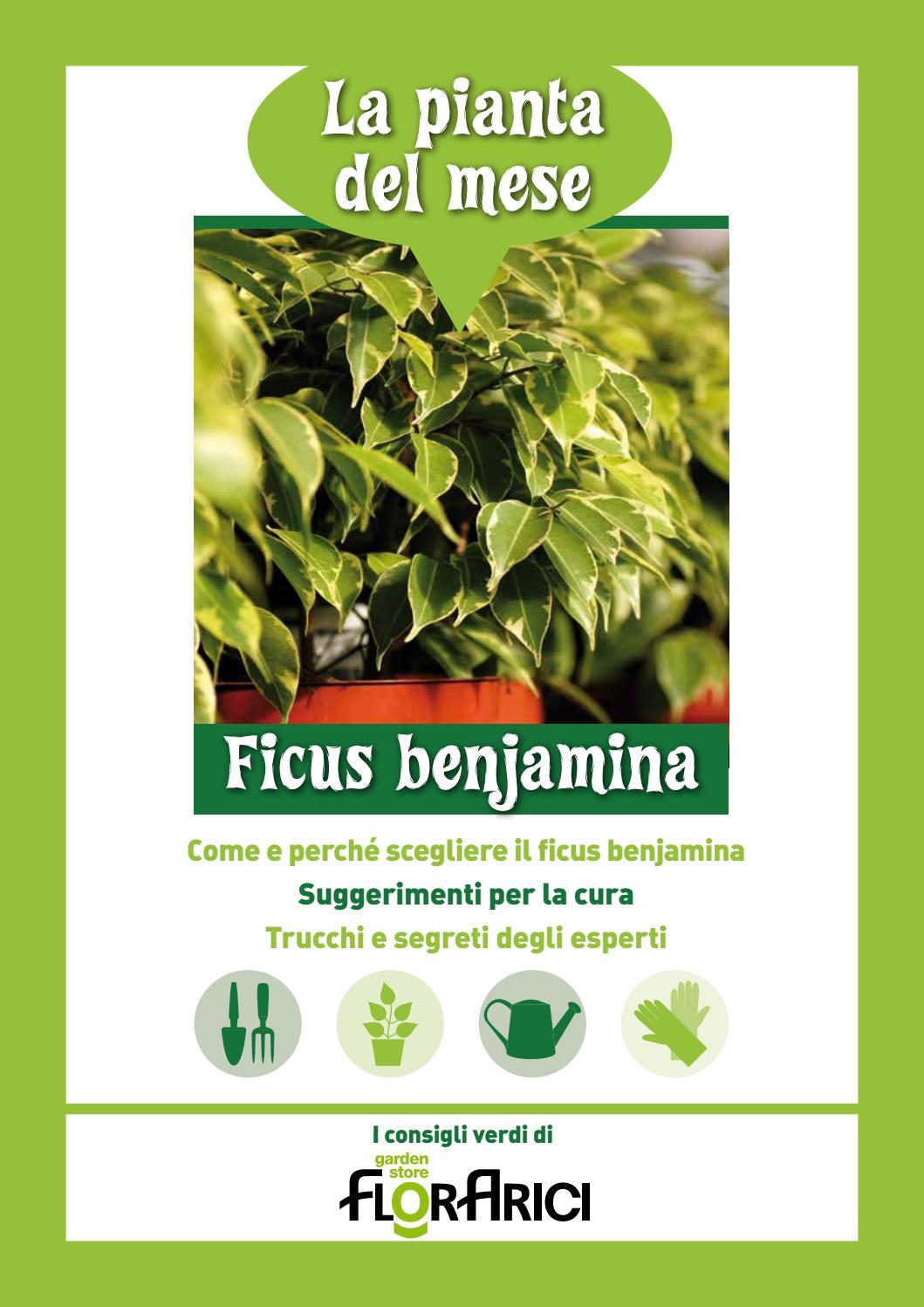 Cura Del Ficus Benjamin ficus benjamin - la pianta del mese di settembre 2016 di