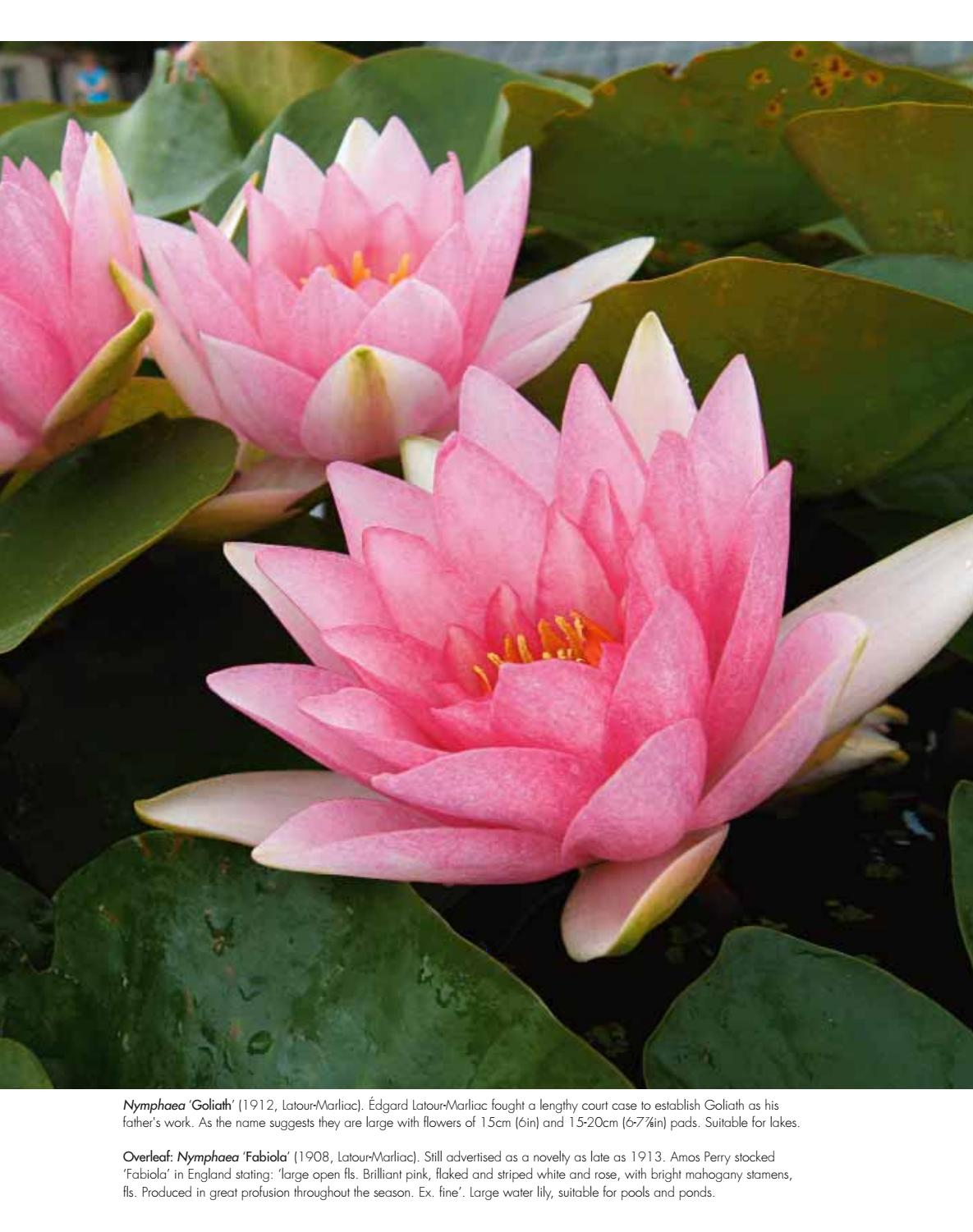Water Lilies By Acc Distribution Issuu