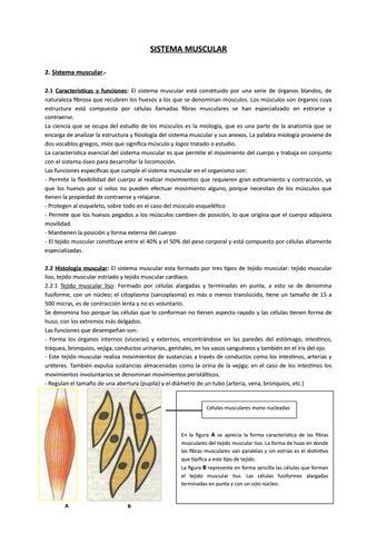 Sistema muscular by María Juliana Mijahuanca Cajusol - issuu