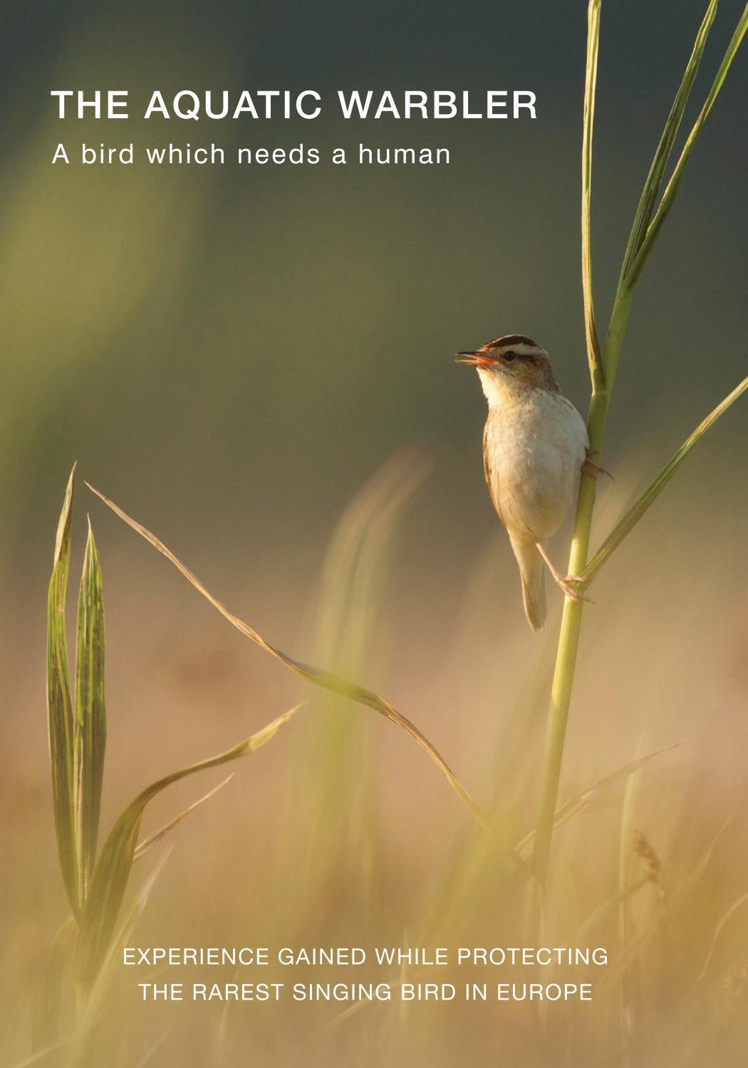 "Layman report: ""Aquatic warbler - a bird, which needs a human"