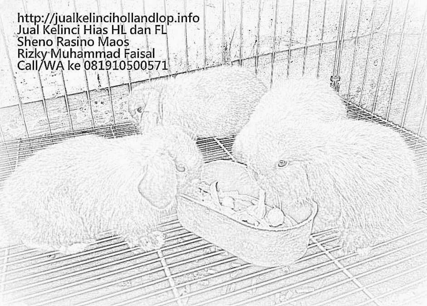 Sketsa Hewan Kelinci Holland Lop Sheno Dan Rizky