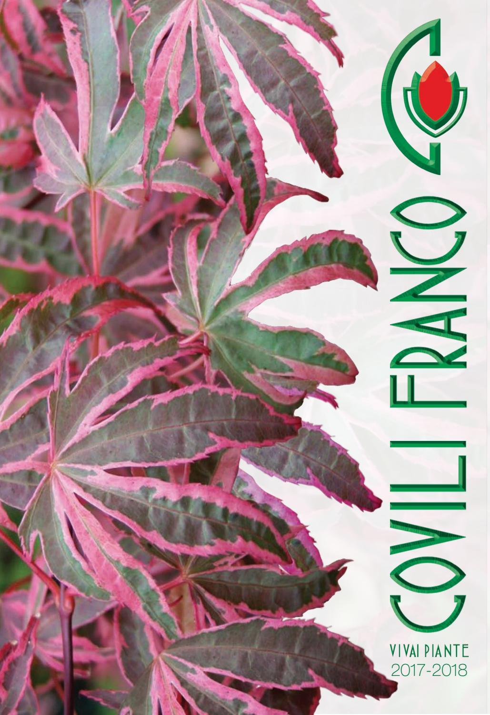 Sciadopitys verticillata BIG GREEN-giapponesi ombrello Abete BIG GREEN 40-50