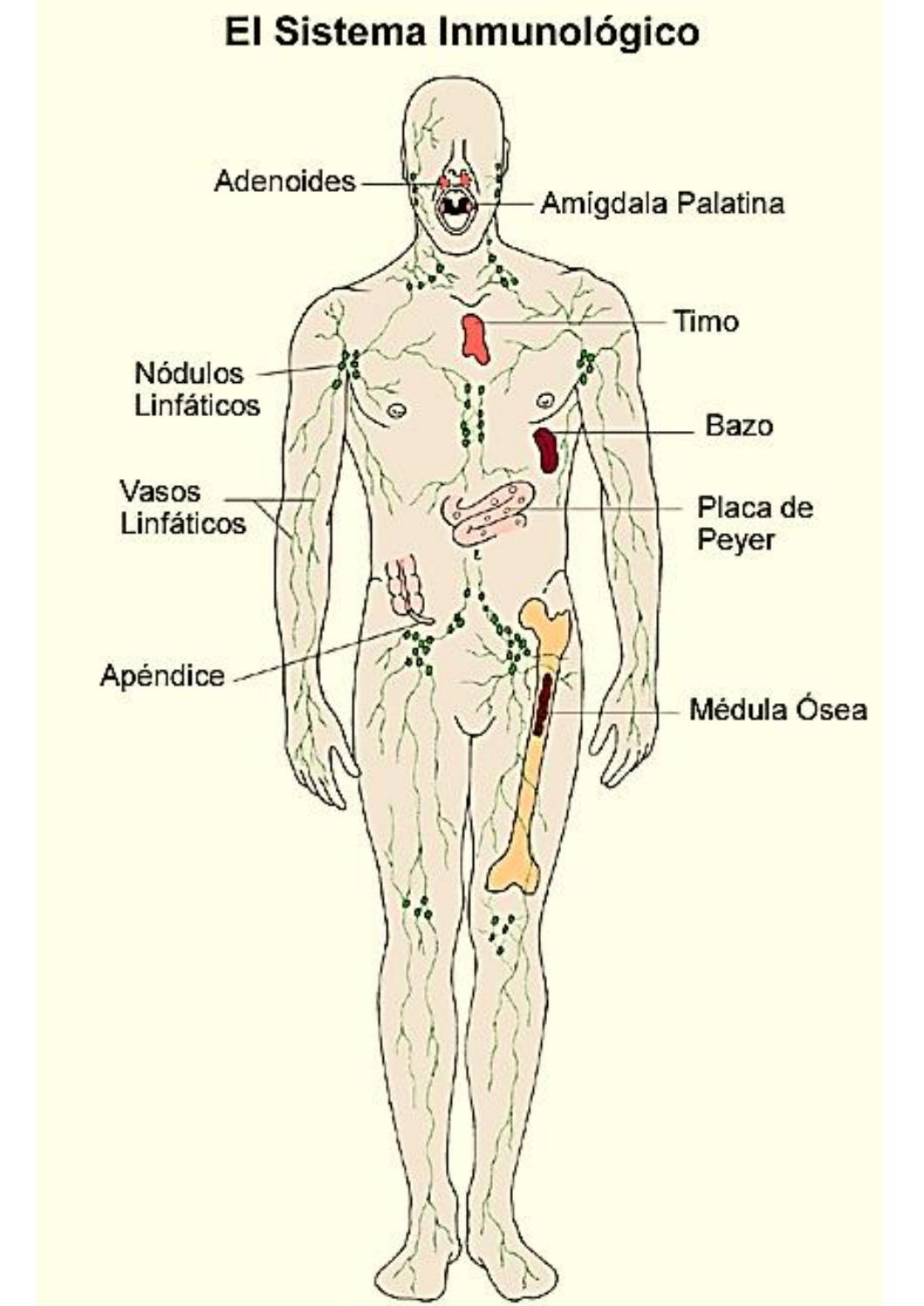 Sistema inmunológico by Jhoselyne Placencia - issuu