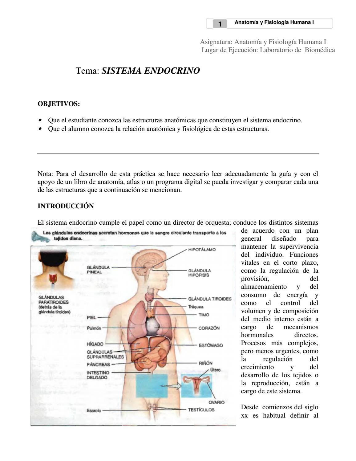 Sistema endocrino by Viviana - issuu