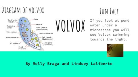 volvox diagram volvox by molly and lindsey by molly braga issuu volvox diagram algae by molly and lindsey by molly braga