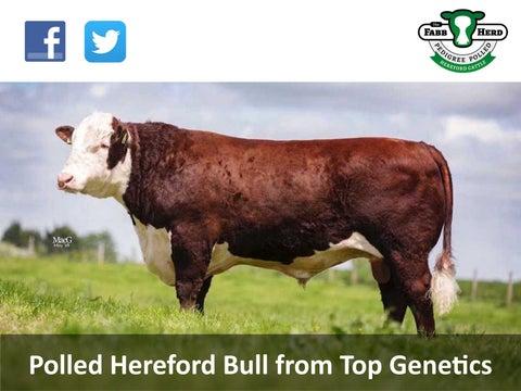00f98610ca573 American Hereford | Hereford World - American Hereford