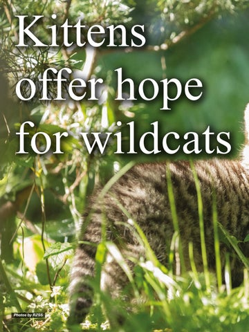 Page 108 of New hope for threatened wildcat species