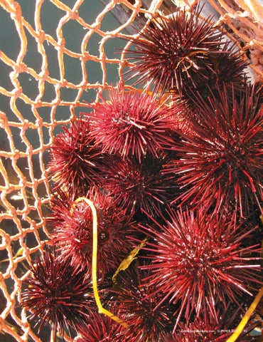 Page 45 of In Search of Local Sea Urchin