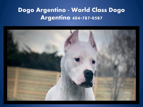 Dogo Argentino Puppies For Sale GA by Dogo Argentino Puppies