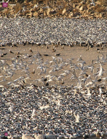 Page 10 of Isla Rasa, 40 años de enseñanzas de sus aves marinas anidantes