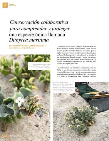 Page 24 of Conservación colaborativa para comprender y proteger una especie única llamada Dithyrea maritima