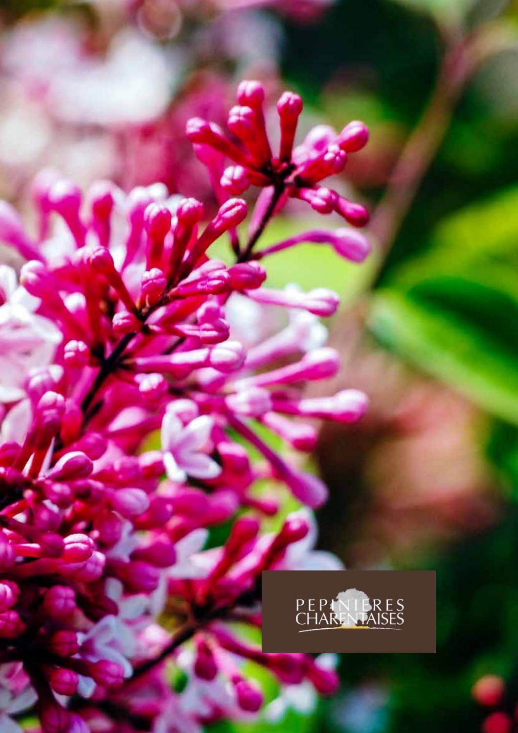 1,29 € par St 10 x Spiraea japonica /'anthonywaterer/' Rouge été PEP