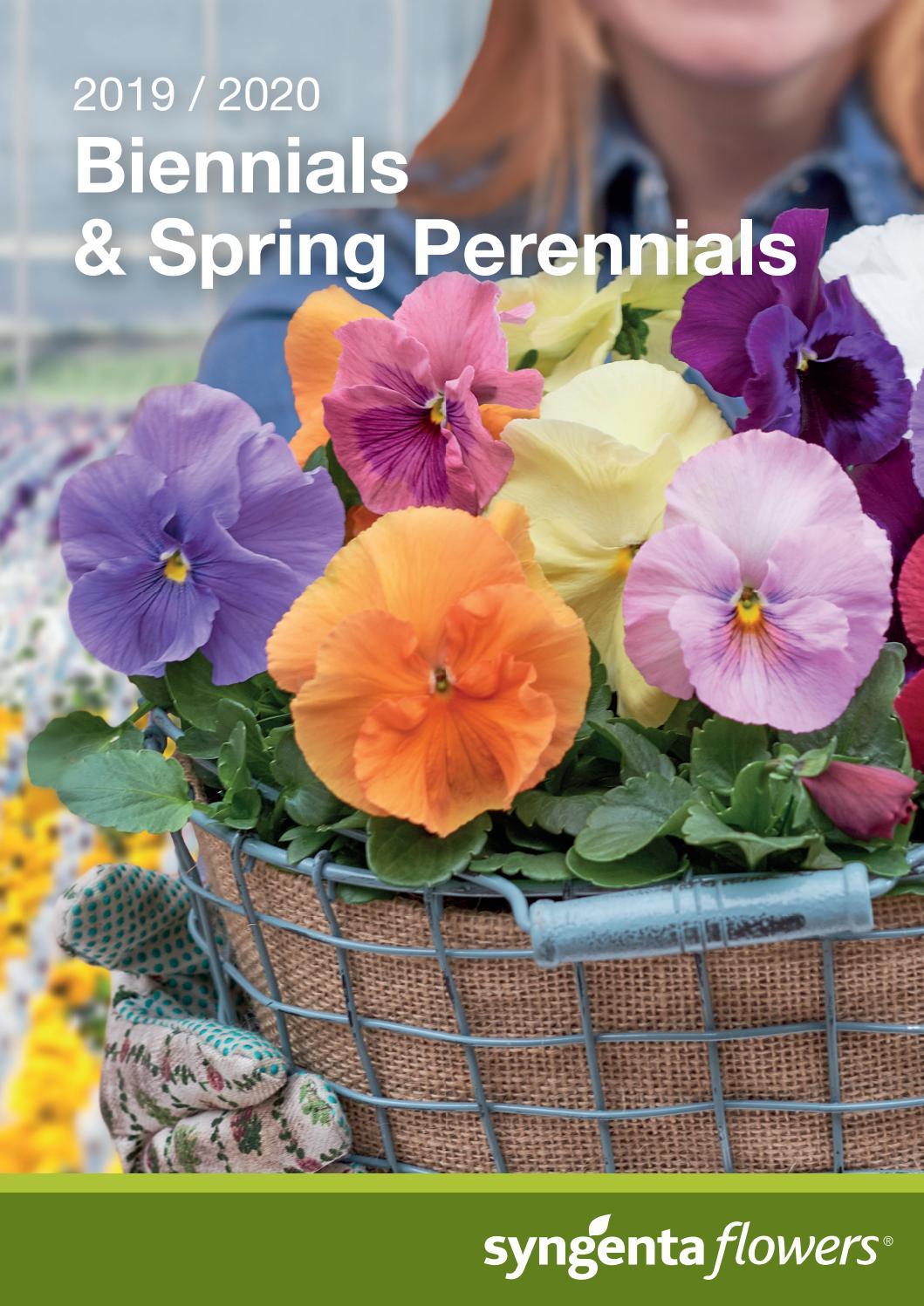 40 Winter Flowering Pansy F1 Select Blue Blotch  Basket Bedding  Plug plants